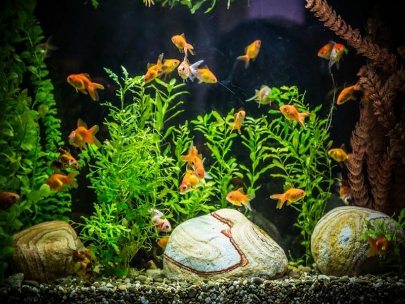 Phong thủy bể cá